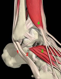 Anatomia Del Collo Piede Radiologia Ortopedica